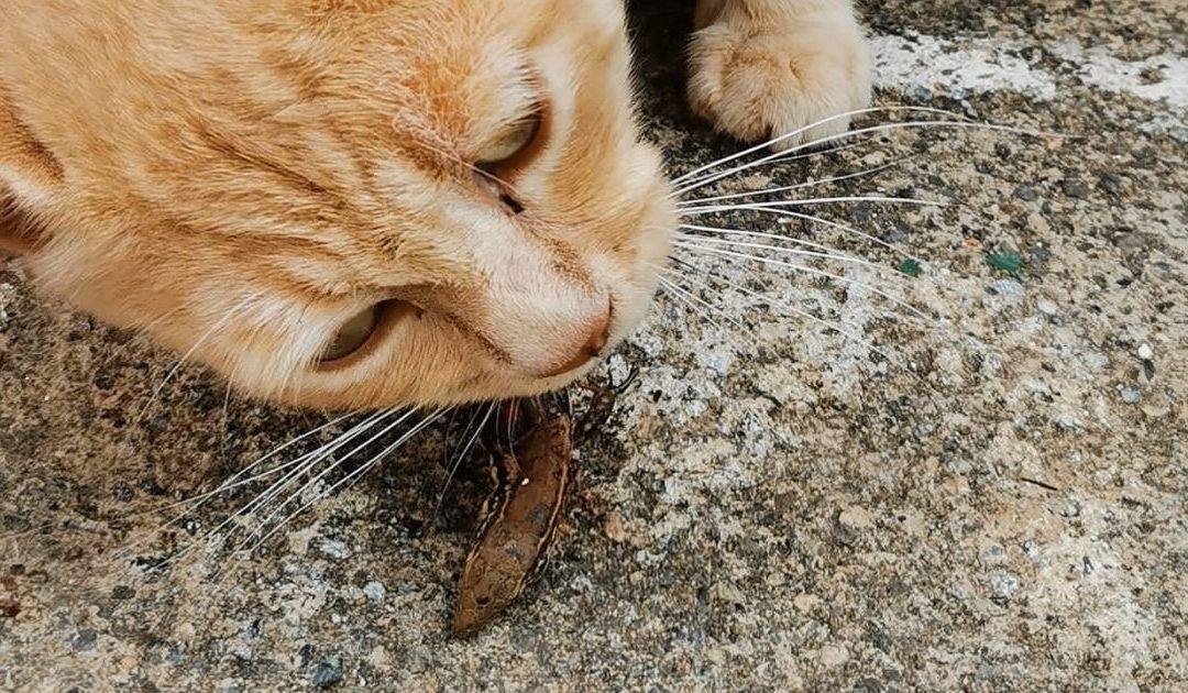 Gato Asilvestrado alimentándose de un lagarto